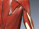 Free! Anatomy Of The Radial Nerve - Everything You Need To Know